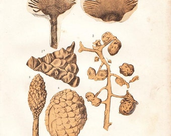 1891 Vintage Botanical Print Fossil Plants Lithograph Gymnosperm