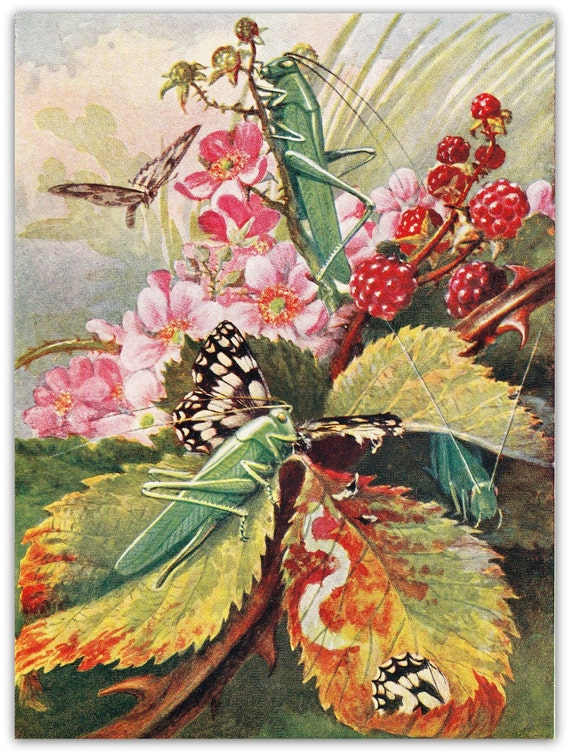 1953  Insects Vintage Art Print Green Locust Grasshopper  Entomology Lithography