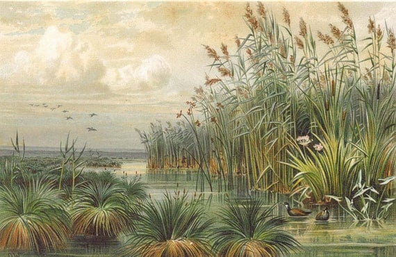 1892 Lithograph Reeds Sedges Danube  Antique Botanical Print  Natural History Wall Decor