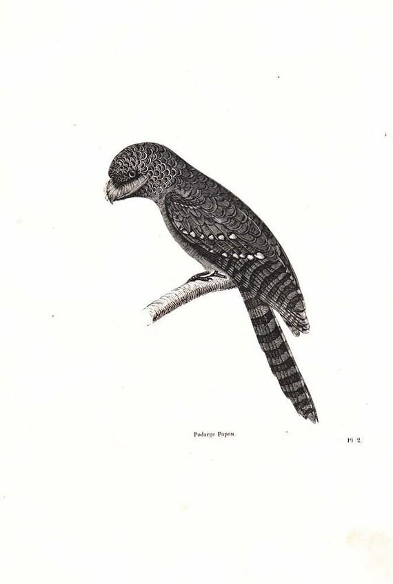 1854 Antique Bird Print Papuan Frogmouth (Podargus papuensis) 1800s Art Engraving