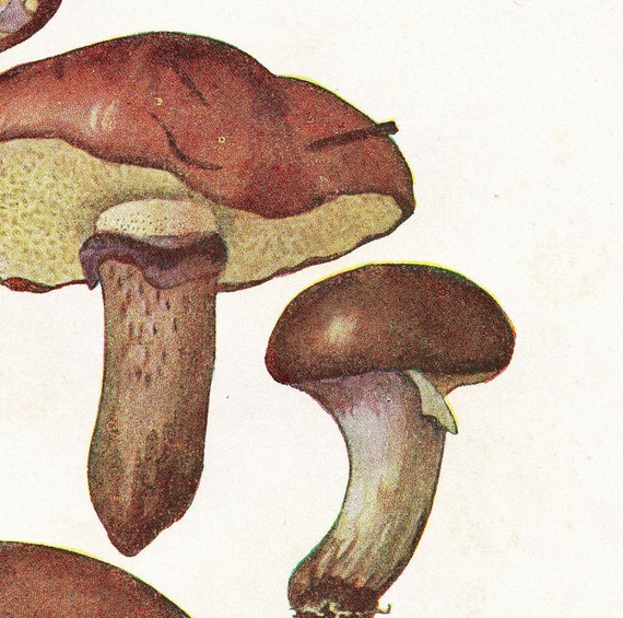 Mushrooms Vintage Print Boletus granulatus Offset Lithograph 1948