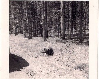 Vintage/ Antique Photo of a cute bear laying on the side of the road