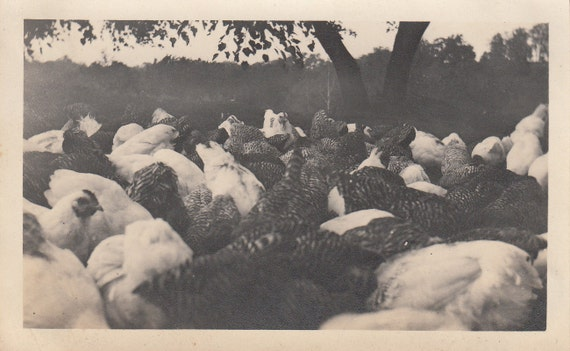 Vintage/Antique close-up photo of chickens