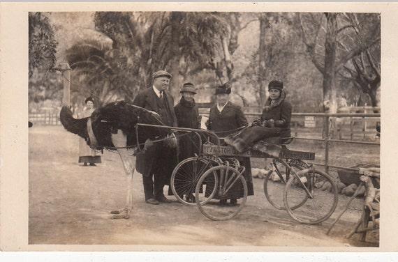Vintage/Antique  amazing postcard photo of a woman, ostrich drawn carriage, Cawston farm