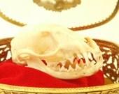 Reserved For Silje Mongoose Skull In Trinket Box