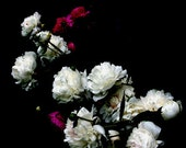 Card - Peony, pink & white peonies, raindrops, flower photo, black background - DabHands