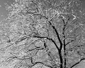 Winter card -  tree & snow, Maine winter morning, snow on cherry tree branches, black and white photo, winter birthday card, winter wedding