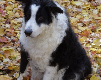 Dog Card - Border collie dog in autumn leaves, Maine autumn, black & white dog, autumn card, dog birthday card, dog all occasion card