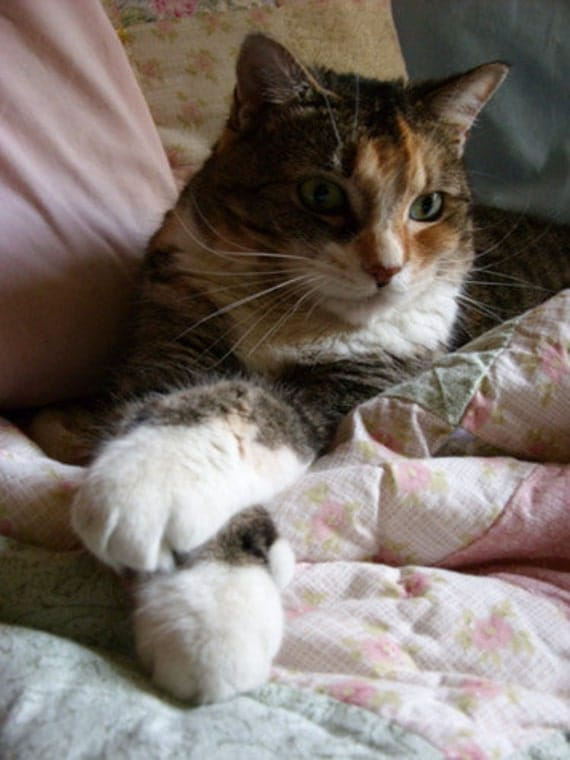 Calico Cat Card - Tabby cat card, cat feet, double-pawed polydactyl cat, cat birthday card, cat all occasion card, cat on quilt card