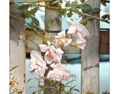 Pale Roses - fine art photography flower blossom pale rose pink gift home interior decor nature botanical garden park fence