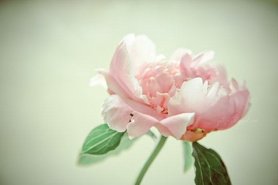 Morning Bloom - fine art photo print flower peony spring summer pink blossom nature botanical home decor