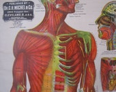 Antique Anatomy Chart of the Muscular System Dr. G.H. Michel and Co.