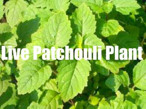 Patchouli  Plant live Sold Out till Spring ..