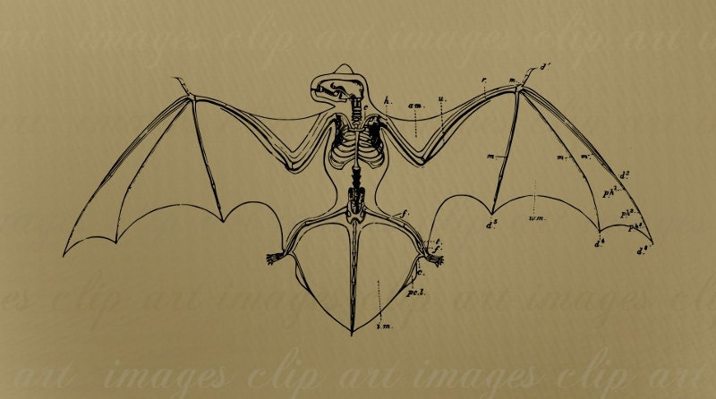 Bat skeleton drawing - photo#6