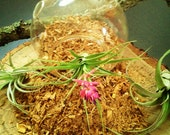 NATURAL, Eco Friendly  (real) oak shavings perfect for DIY projects, terrariums, air plants
