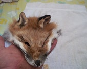 real animal fur Tanned red fox face head taxidermy skin pelt hide parts