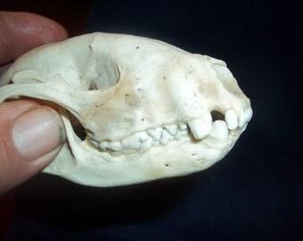 Real Animal Bone Raccoon skull head skeleton Part teeth crafting man cave supplies