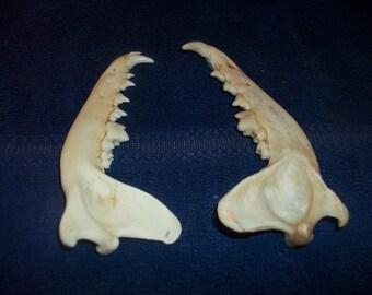 2 real animal bone coyote k-9  jaws parts skeleton teeth weird skull