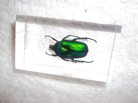 Real insent Bug paper weight