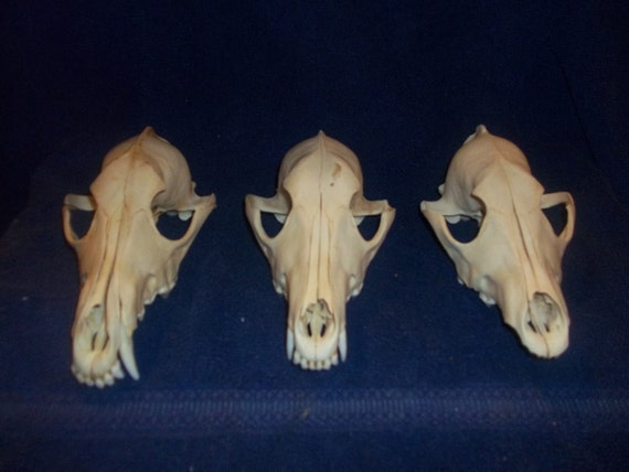 1 Real animal bone Coyote Skull part  Reserved for Ralucaroxanna