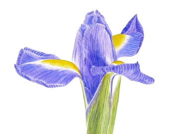 Portrait of an Iris - contemporary botanical fine art greetings card