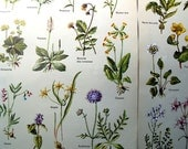 Wild flower book plates from a French encyclopaedia, four double sided pages.