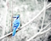 Blue Jay- Winter, Blue and White Fine Art Photography - SevenTen