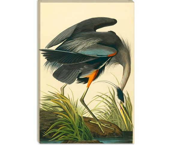"Great Blue Heron by John James Audubon Canvas Art Print (1467) 41""x27"" Thick Bars"