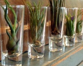 Air Plant Collection 3 Air Plants With 3 Glass Vessels - Perfect Terrariums - Gifts under 30 - Gift for Her