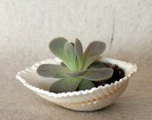 Orostachys Succulent In A Sea Shell