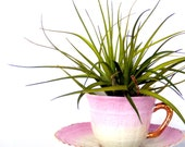 Coffee, Tea or Air Plant - Cottage Chic Decorating