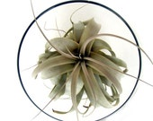 Life in a fish bowl - Large Air Plant in Clear Glass Bowl