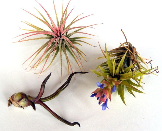 Trio of Air Plants