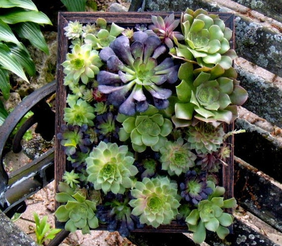 Framed Succulents Living Art Vertical Garden
