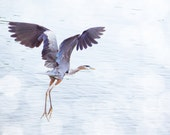 Heron in Flight - 8 x 10 Fine Art Print