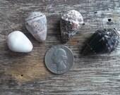 4 Hawaiian Cone Shells