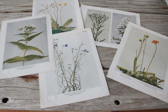Set of 5 1930s Wild Flower Illustrations