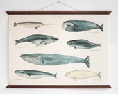 Whales - vintage educational chart illustration - ARMINHO