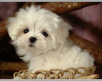 4 Dog Puppy Maltese Greeting Notecards/ Envelopes Set