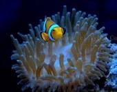 Underwater Clown Fish Anemone Photography 5x7
