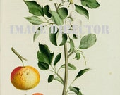Botanical 1828 IMAGE Download 8 Beautiful Antique Apple Fruit Tree Branch Blooming Flowers Nature to Print Frame