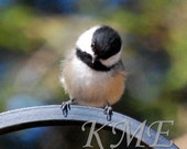 Chickadee No. 521:   Handmade Greeting Card with Fine Art Wildlife and Nature Photography Print of a Fluffy Black-capped Chickadee Bird