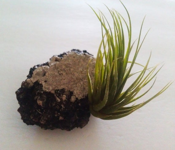 Paper Weight Garden Tillandsia upcycled asphalt OOAK - one air plant