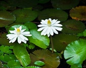 White Lotus Flowers 10x7 Fine Art Photo