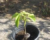 Lychee Tropical Fruit Tree 1 Gallon
