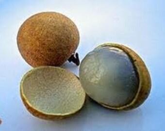 Dimocarpus Longan (Dragon's Eye) Tropical Fruit Tree 1 Gallon