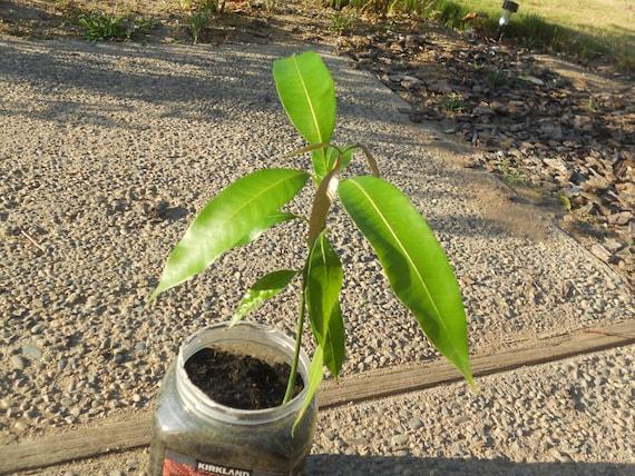 Mango Seedling Tropical Fruit (1 Gallon)