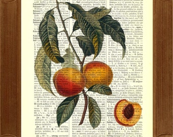 Peach fruit Dicitionary Art Print, vintage illustration  printed on old upcycled dictionary page