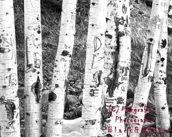 Birch tree photos, black and white photos, Carved Birch tree photograph 8x10 photo, called Tattoo Trees. Bark Photo images