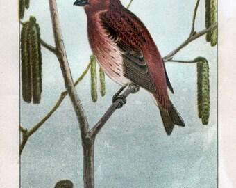 Antique Scientific Bird Print by the Famous Naturalist Ernest Seton Thompson, Purple Finch, 1903